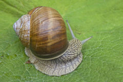Snail  on a green leaf Royalty Free Stock Image