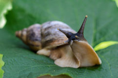 Snail on a green leaf Stock Image