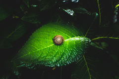 Snail on the green leaf with black tone background concept Stock Photos