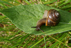 Snail on the green leaf. Closeup Stock Images