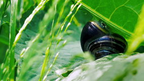 Snail on green leaf - closeup CLIP 2 stock footage
