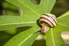 Snail on green leaf closeup view Royalty Free Stock Photography