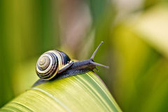Snail on green Leaf Royalty Free Stock Photos