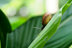 Snail on green leaf. In the garden Stock Image