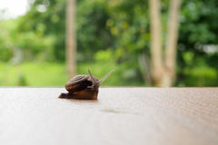 Snail on green leaf. In garden Royalty Free Stock Photo