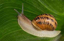 Snail on a Green Leaf Royalty Free Stock Photography