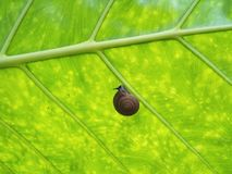 Snail on green leaf. Little snail on green leaf Stock Photo