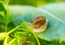 Snail on a green leaf Stock Photos