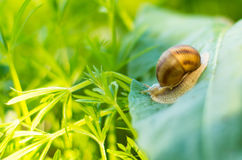 Snail on a green leaf Royalty Free Stock Images