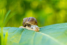 Snail on a green leaf Royalty Free Stock Photos