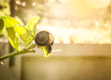 Snail on green leaf. In morning time Royalty Free Stock Image