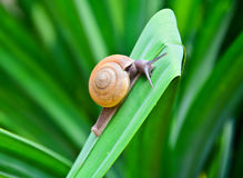 Snail on green leaf Stock Photography