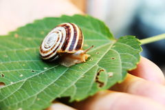 Snail on the green leaf Royalty Free Stock Photos