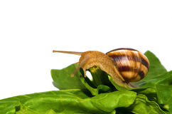 Snail on green leaf Royalty Free Stock Image