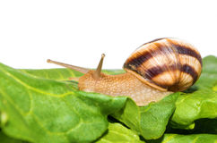 Snail on green leaf Stock Image