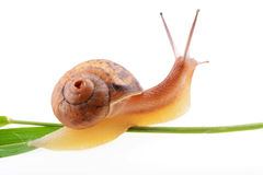 Snail on a green leaf Stock Photo