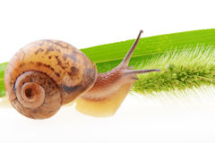 Snail on a green leaf Stock Photos