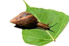 snail on a green leaf. Royalty Free Stock Images