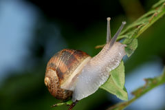 Snail on green leaf Stock Images
