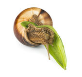 Snail and green leaf Stock Photography