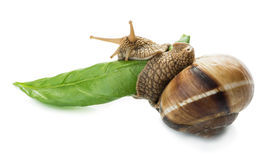Snail and green leaf Stock Image