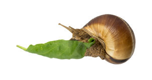Snail and green leaf Royalty Free Stock Images