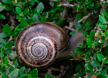 Snail in a bush royalty free stock photography