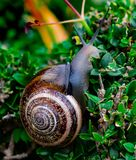 Snail between green leaves climbing stock image