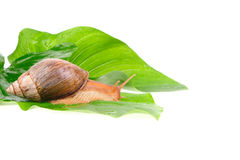 Snail on green leaves Stock Photography