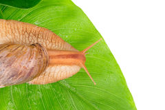 Snail on green leaves Stock Photos