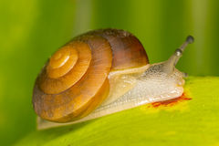 Snail on green leaves Royalty Free Stock Image
