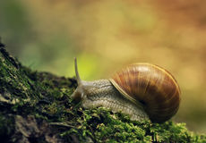 Snail. On green moss with background Stock Photo