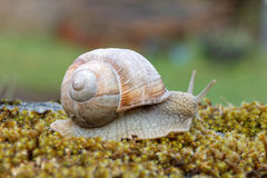 Snail on green moss Stock Photography