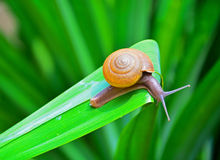 Snail on the green pandanus palm leaf Royalty Free Stock Photo