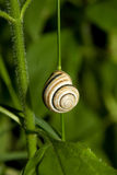 Snail on green plant Stock Photography