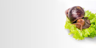 Snail on green salad. A snail on green salad, white background Stock Images