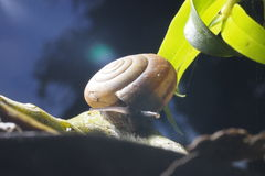 Snail on green stem. Common garden snail crawling on green stem of plant Royalty Free Stock Photo