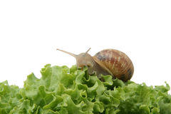 Snail on green vegetable Royalty Free Stock Photo
