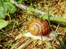 Snail on the ground. Brown shelled snail on leaves on the geound royalty free stock photo