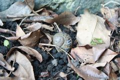 Snail on the ground with death leaves Royalty Free Stock Photo