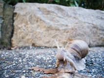 Snail on the ground Stock Photography