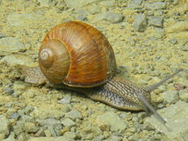 Snail on the ground Royalty Free Stock Images