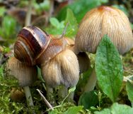 Snail. And a group of mushrooms in the meadow Stock Image