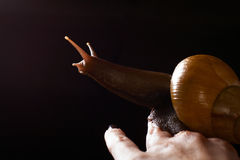 Snail on hand. Achatina fulica. Snail on a female hand with black nails on a black background Royalty Free Stock Photo