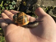 Snail on hand Stock Photography