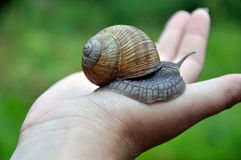 Snail on the hand. Snail with shell crawling on the palm of her hand Stock Photography