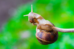 Snail hanging on a thin branch Stock Photography