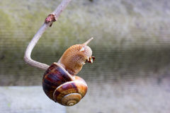 Snail hanging on a thin branch Stock Photo