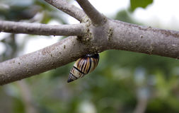 Snail hanging from a tree branch Stock Photography