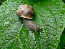 Snail. Helix pomatia Royalty Free Stock Photos